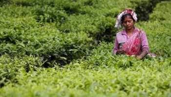 Aromas help tea plants resist cold weather: Study
