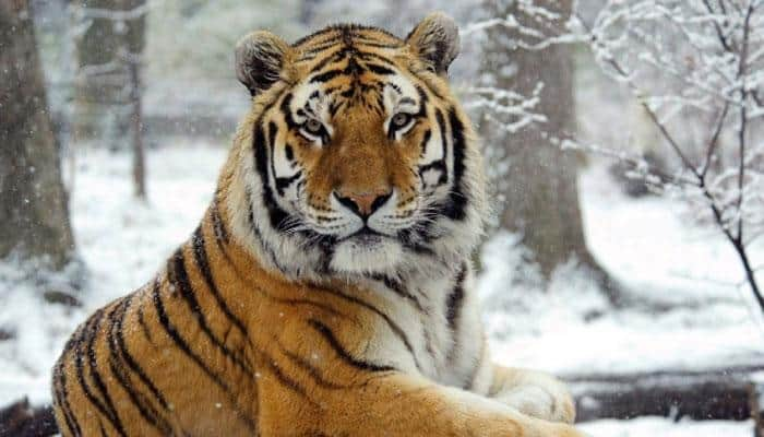 Second tiger freed by Putin found near Sino-Russian border