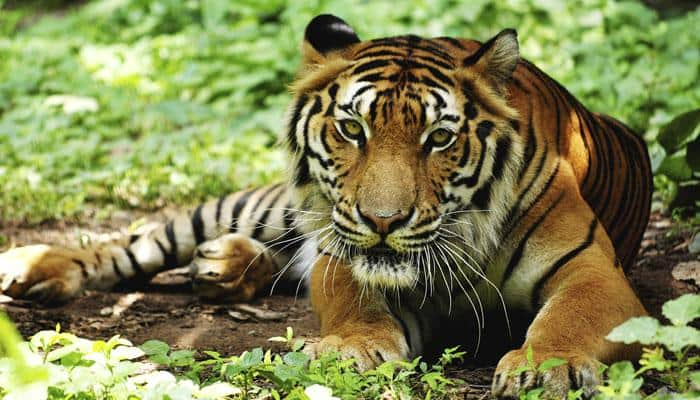 Tiger mauls to death teacher in MP forest