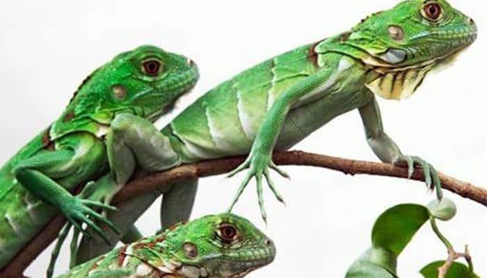 Lizards breathe like birds