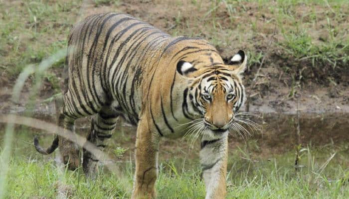Latest tiger census 'positive': Official