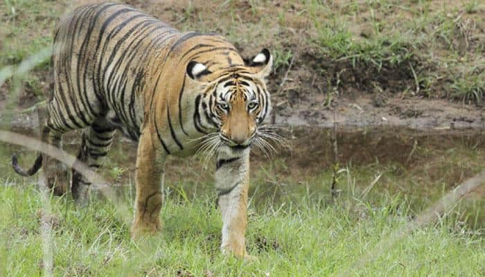 Tiger population rises to 2226 in 2014, up from 1706 in 2010
