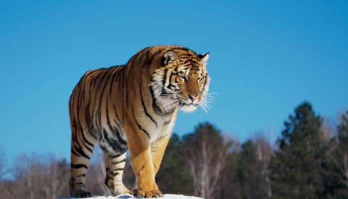 28 tigers in Bihar's Valmiki Tiger Reserve