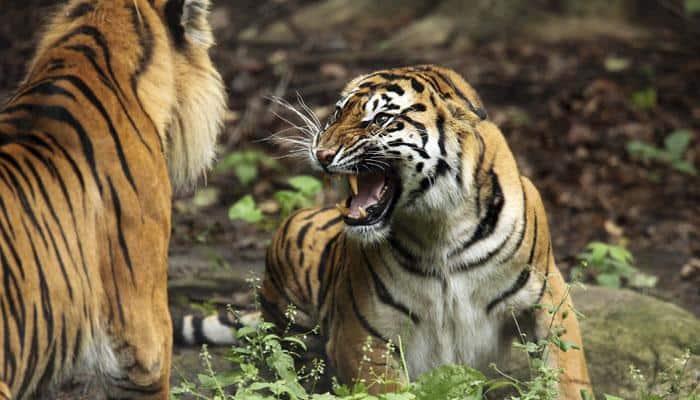 Govt plans more tiger habitats as population rises