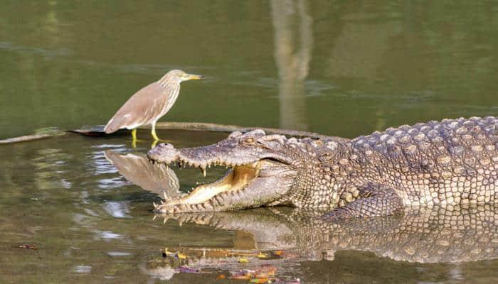 65 endangered juvenile gharials released into Ganges at Hastinapur, UP