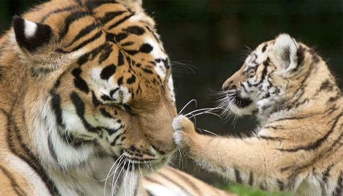 Significant rise in Maharashtra's tiger population