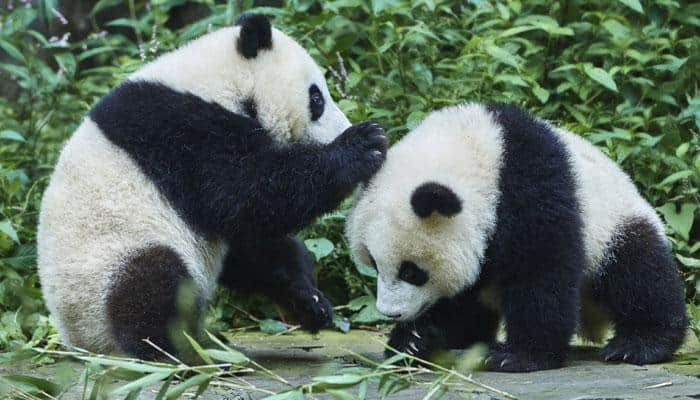 Pandas not as solitary as earlier thought