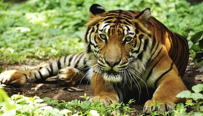 Odisha has around 60 tigers: Official