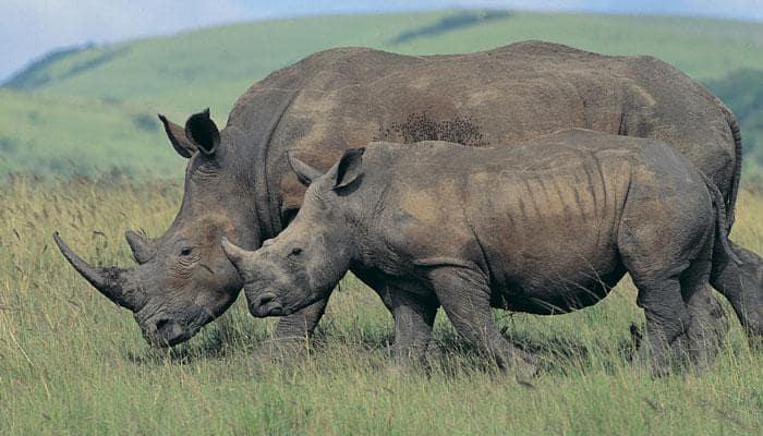 Rhino horn more valuable than gold, diamonds