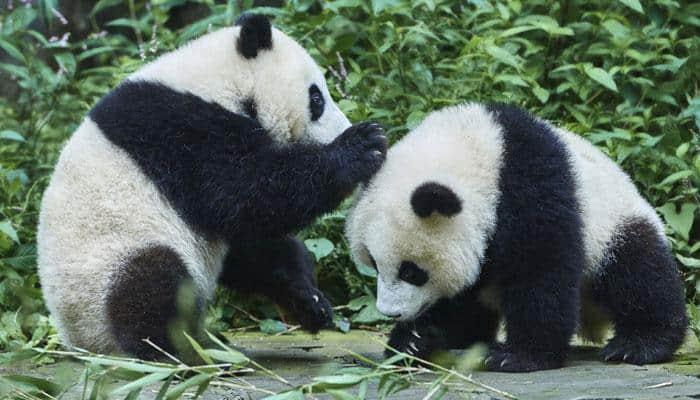 Decoded: Giant pandas' lazy lifestyle
