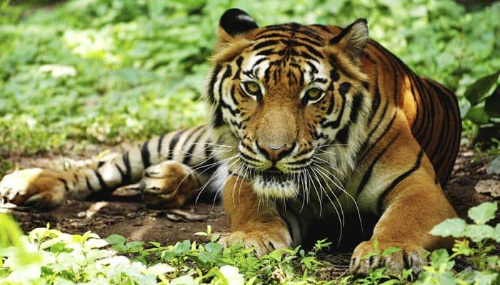 Tiger population in Bangladesh falls to 106 from 440 in 2004