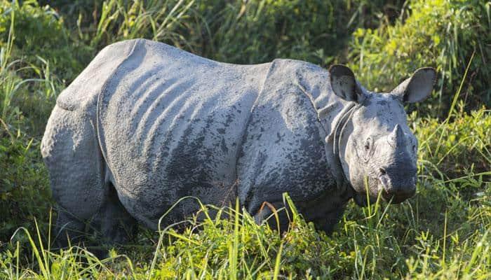 Another rhino killed in Assam's Kaziranga park