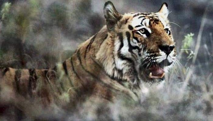Tiger enters engineering college in Bhopal