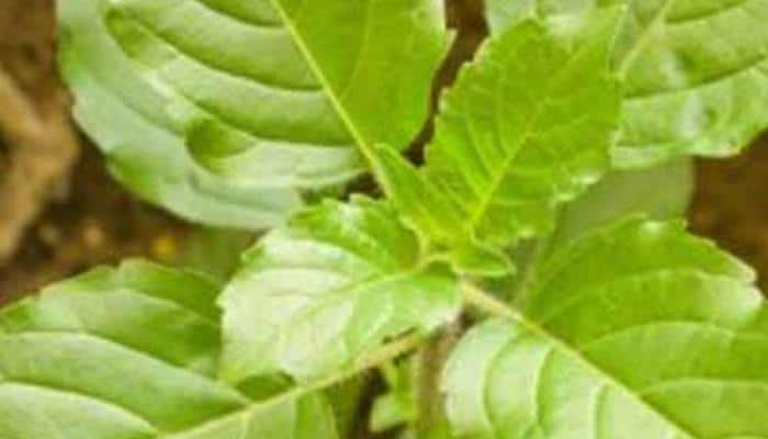 On Tulsi Pujan Diwas, here is why the plant is significant