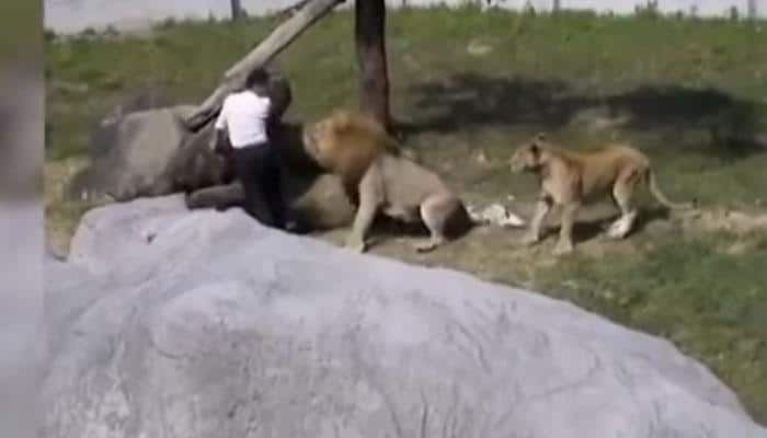 What happened when a mentally unstable man jumped into lion's enclosure at zoo? Watch Video