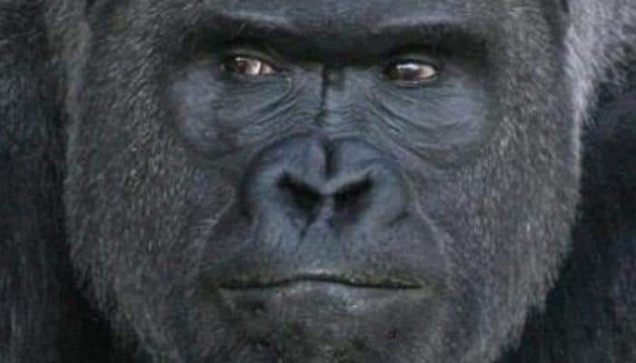 Gripping video: 5-year-old boy falls into gorilla's enclosure at a zoo - Watch what happens next!