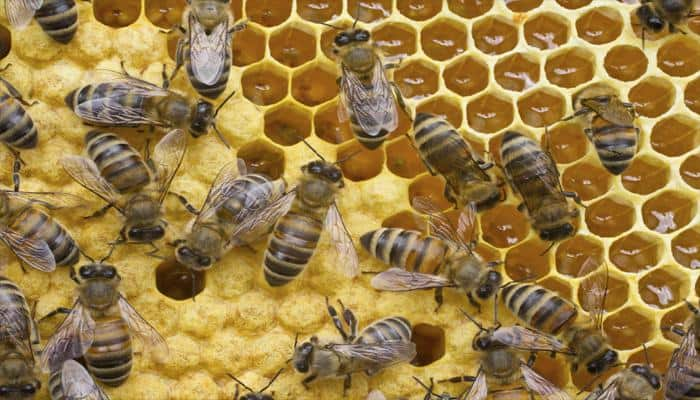 Humans responsible for spreading bee killing virus: Study