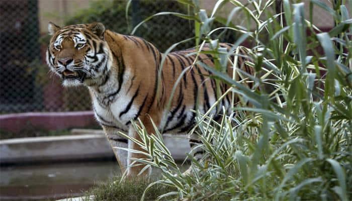 Naga youth gun down lone Royal Bengal tigress