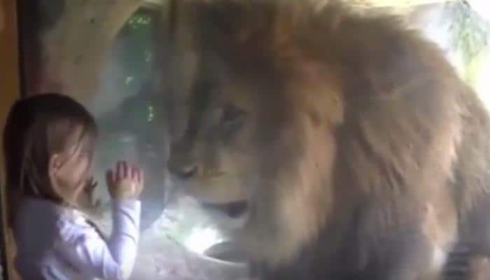 What happens when a little girl blows a kiss to a lion at the zoo - Watch