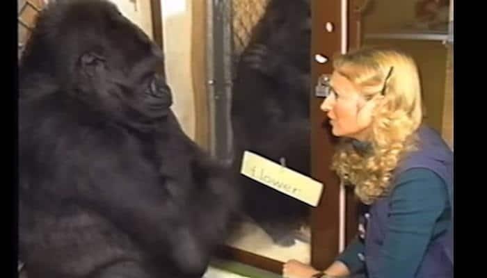 Must watch – Koko, the gorilla who talks to humans!