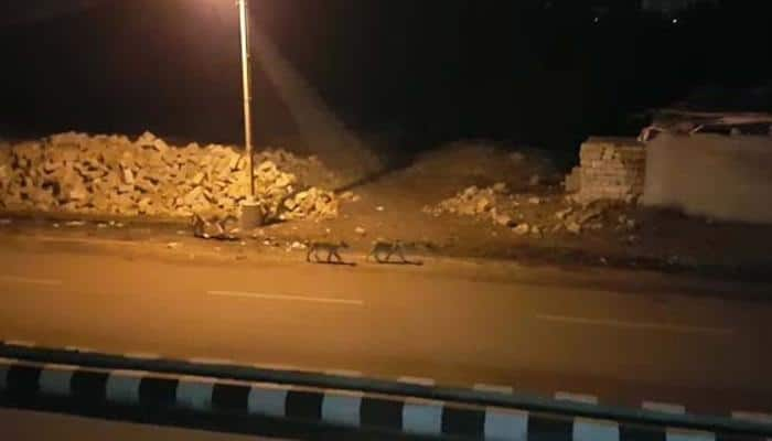 Watch: Eight lions take a stroll in Junagadh town at night