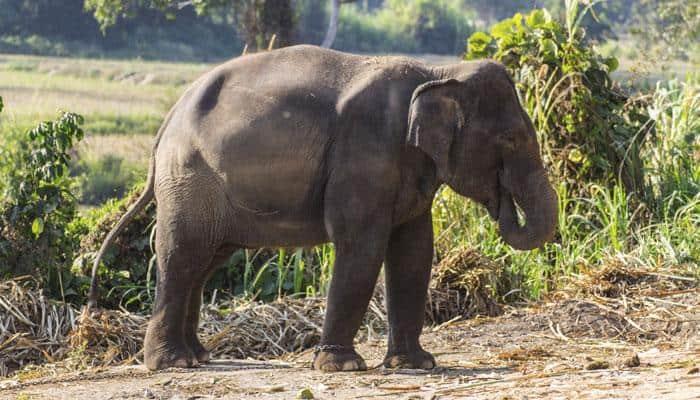 At 86, Kerala elephant 'Dakshayani' all set to enter Guinness World Records