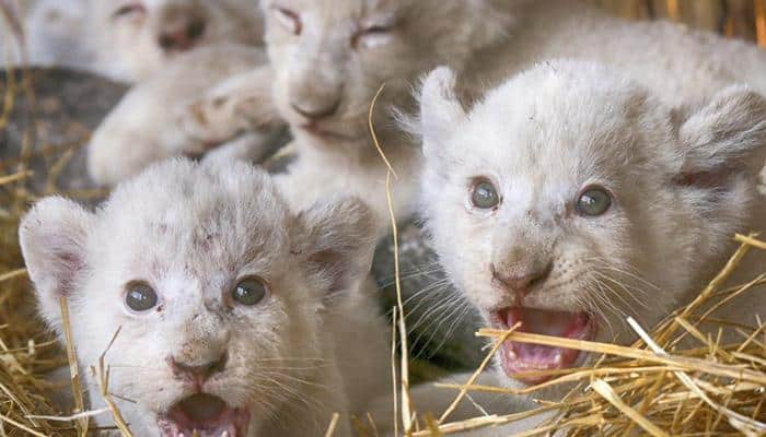 Aww, cuteness! Ukrainian zoo's white lion cubs will surely melt your heart (See adorable pics inside)