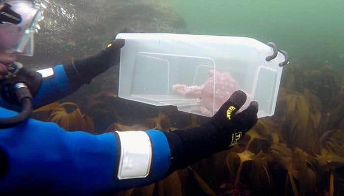 Know why this octopus is being released back into the sea – Watch video!