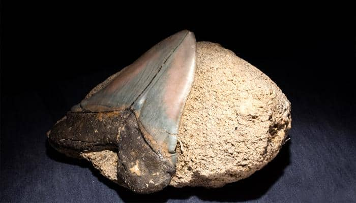 Two-inch long fossilized teeth expose new species of prehistoric shark