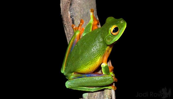 Scientists discover new colourful tree frog species in Australia