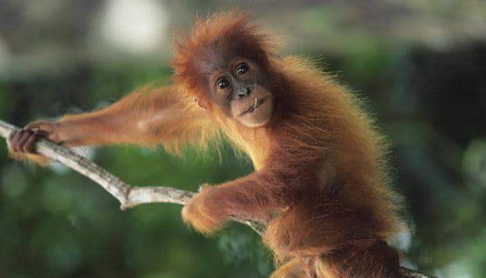 Just like us, even apes have ability to guess what others are thinking - Read