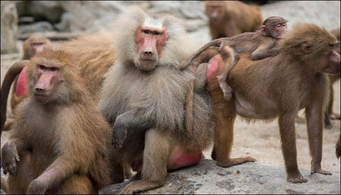 Hearing voices: Baboon calls contain evidence of origins of human language, say scientists!