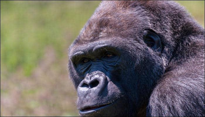 Oldest gorilla in captivity dies in Ohio at 60