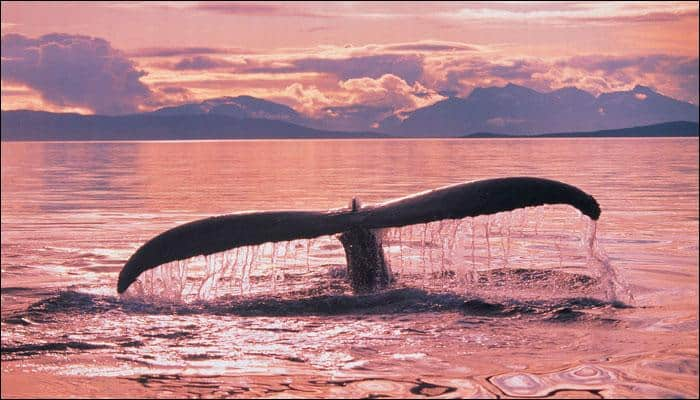 Malnourished whale found beached in Norway had consumed 30 plastic bags; euthanized