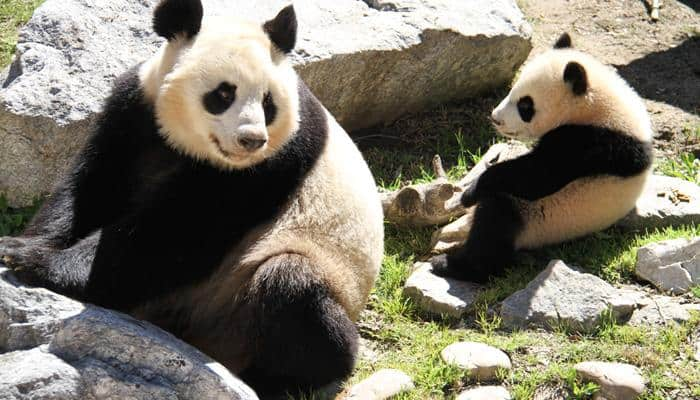 Look, who visited Chulina – The giant panda cub at Madrid zoo in Spain