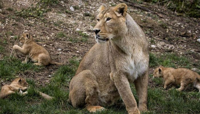 Lioness nurses leopard cub in Tanzania