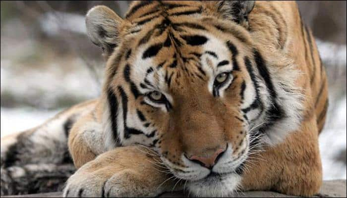 Famed sand artist Sudarsan Pattnaik pledges to protect big cats on International Tiger Day