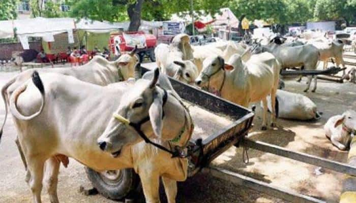 Avoid cow slaughter on Eid-ul-Azha: Darul Ifta Jamia Nizami to Muslims
