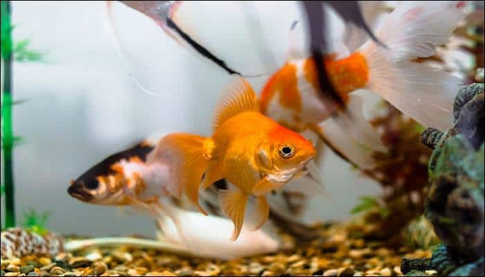 UK girl nabs biggest goldfish ever recorded in the country
