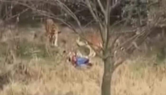 SHOCKING! Man jumps into tiger enclosure, see what happens next: WATCH