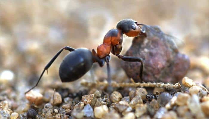 This is how 'zombie fungus' takes over ants