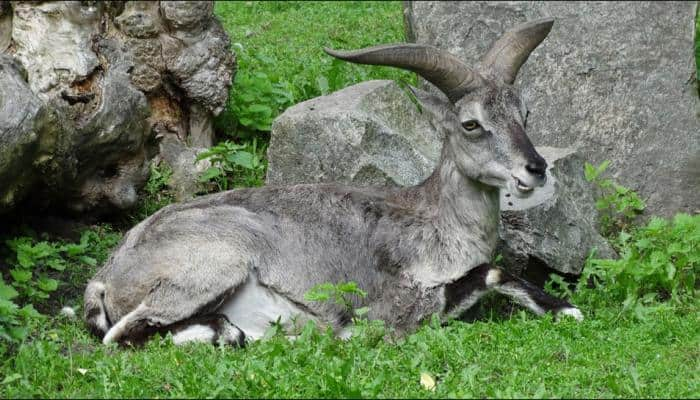 Himalayan blue sheep infected by virus which causes eyes to bulge out