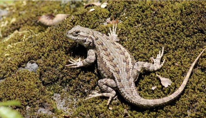 Extinct monitor lizard had four eyes: Study