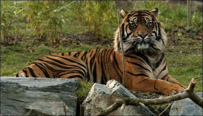 Tigers, Leopards spotted near Goa-Karnataka border; Railways issues alert