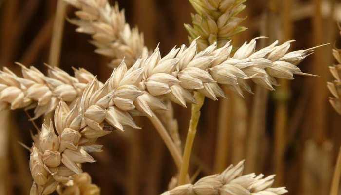 Major scientific breakthrough: International team of scientists including 18 Indians decode complex wheat genome