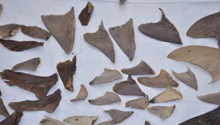 DRI seize around 8,000 kgs of shark fins from Mumbai, Gujarat