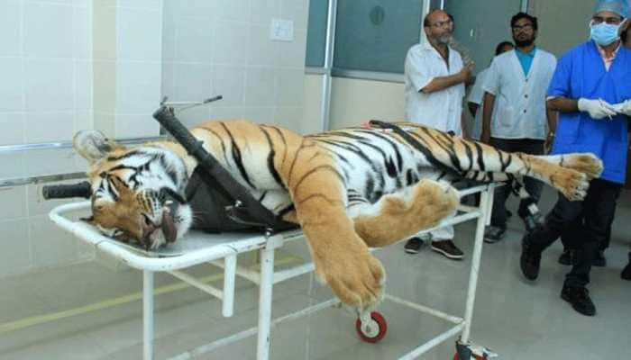 Tigress Avni was not aggressive, firing in self-defence doubtful: NTCA committee