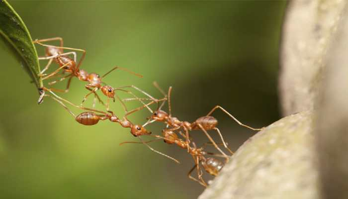 Dracula ants possess fastest known animal appendage: Study