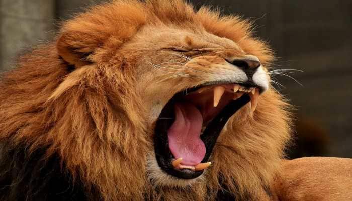 Three lions run over by train near Gir forest