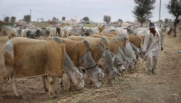 Don't sacrifice cow on Eid al-Adha: Telangana minister urges Muslims